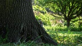 在一棵树的灰鼠在英国夏天公园 免版税库存图片