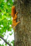 在一棵树的灰鼠红头发人在夏天 免版税库存图片