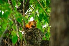 在一棵树的灰鼠红头发人在夏天 免版税库存照片