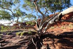 在一棵树的特写镜头在Canyon, Outhback澳大利亚人国王 库存图片