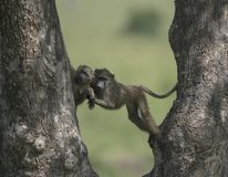 在一棵树的狒狒在马塞人玛拉国家公园 免版税库存照片