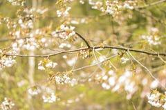 在一棵树的瓣在春天 免版税库存照片