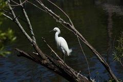 在一棵树的白色鸟在水附近 库存图片