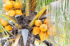 在一棵树的真正的椰子有白色天空背景 免版税库存照片