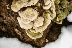 在一棵树的真菌在冬天 图库摄影