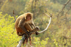 在一棵树的短尾猿猴子在Swayambhunath Stupa,加德满都, Ne 库存照片