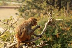 在一棵树的短尾猿猴子在Swayambhunath Stupa,加德满都 库存图片