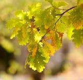 在一棵树的秋叶本质上 免版税库存照片