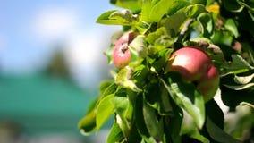 在一棵树的红色和绿色苹果在一阵微风 影视素材