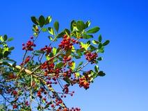 在一棵树的红色莓果在佛罗里达 免版税库存图片