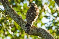 在一棵树的红被担负的鹰鵟鸟lineatus在佛罗里达由树伪装了 库存照片