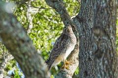 在一棵树的红被担负的鹰鵟鸟lineatus在温德米尔被伪装和完全匹配树的佛罗里达 库存照片