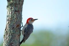红鼓起的啄木鸟 免版税图库摄影