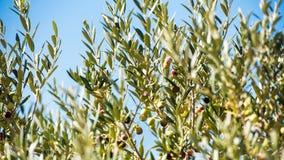 在一棵树的绿橄榄在庭院, Siurana, Catalunya,西班牙里 特写镜头 免版税库存照片