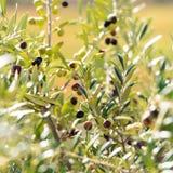 在一棵树的绿橄榄在庭院, Siurana, Catalunya,西班牙里 特写镜头 免版税库存图片