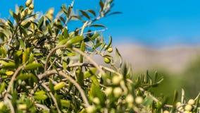 在一棵树的绿橄榄在庭院, Siurana, Catalunya,西班牙里 特写镜头 免版税图库摄影