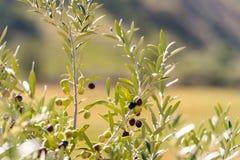 在一棵树的绿橄榄在庭院, Siurana, Catalunya,西班牙里 特写镜头 库存照片