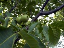 在一棵树的绿色核桃果子吊在庭院里 核桃树 免版税库存图片