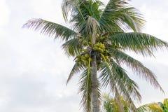 在一棵树的绿色椰子有白色天空背景 库存照片