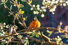 在一棵树的美国知更鸟鸟在春天 库存照片