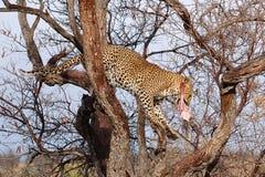 在一棵树的美妙的豹子在纳米比亚 库存照片