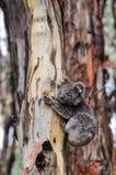 在一棵树的考拉在大洋路,澳大利亚 免版税库存图片
