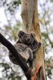 在一棵树的考拉在大洋路,澳大利亚 库存图片