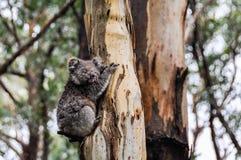 在一棵树的考拉在大洋路,澳大利亚 免版税库存照片