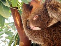 在一棵树的考拉睡眠在湖公园,澳大利亚 免版税库存图片