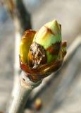 在一棵树的芽在春天,特写镜头 免版税图库摄影