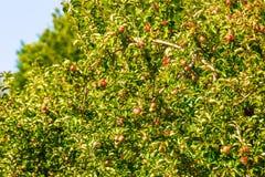 在一棵树的苹果在果树园 免版税库存照片