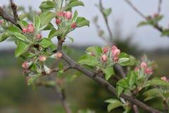 在一棵树的苹果计算机开花在春天 库存照片