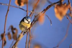 在一棵树的蓝冠山雀在冬天 免版税库存照片