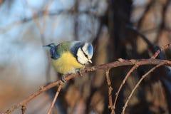 在一棵树的蓝冠山雀在冬天 库存照片