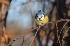在一棵树的蓝冠山雀在冬天 库存图片