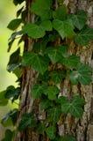 在一棵树的藤在夏时 免版税库存图片