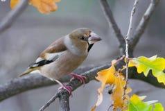 在一棵树的蜡嘴鸟与秋叶 免版税库存图片