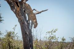 在一棵树的豹子在克留格尔国家公园,南非 免版税库存图片