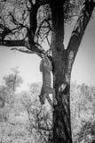 在一棵树的豹子在克留格尔国家公园,南非 免版税库存照片