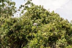 在一棵树的雕Guineafowl在塞伦盖蒂 库存照片