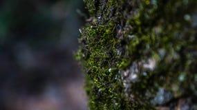 在一棵树的青苔在春天Akademgorodok 免版税库存照片