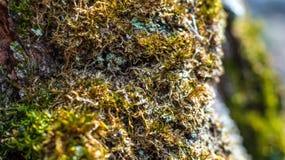 在一棵树的青苔在春天Akademgorodok 库存图片