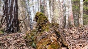 在一棵树的青苔在春天Akademgorodok 免版税库存图片