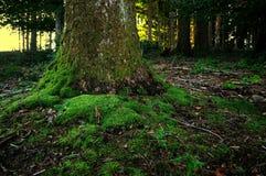 在一棵树的青苔在森林里 库存图片