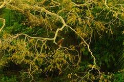 在一棵树的鹰在潘塔纳尔湿地 库存照片