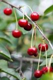 在一棵树的年轻成熟的樱桃在农场的庭院里 成熟红色果子 种田有机 库存照片