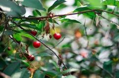 在一棵树的年轻成熟的樱桃在农场的庭院里 成熟红色果子 种田有机 免版税图库摄影