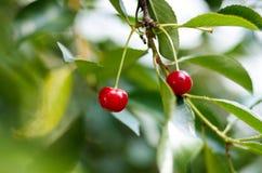在一棵树的年轻成熟的樱桃在农场的庭院里 成熟红色果子 种田有机 免版税库存照片
