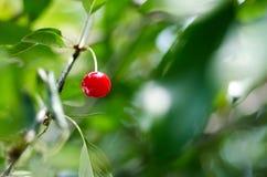 在一棵树的年轻成熟的樱桃在农场的庭院里 裂口 免版税库存照片