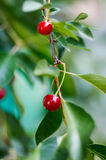 在一棵树的年轻成熟的樱桃在农场的庭院里 裂口 库存图片